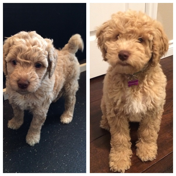 Meet Bristol....at 6 weeks....then at 16 weeks. My has she grown!