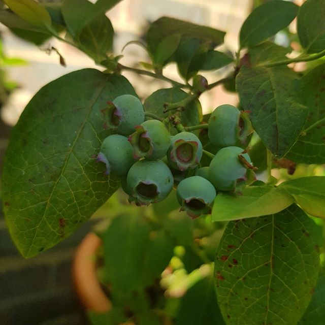 Actual #blueberries. Ain't the countryside something else?  #truglife #sussex