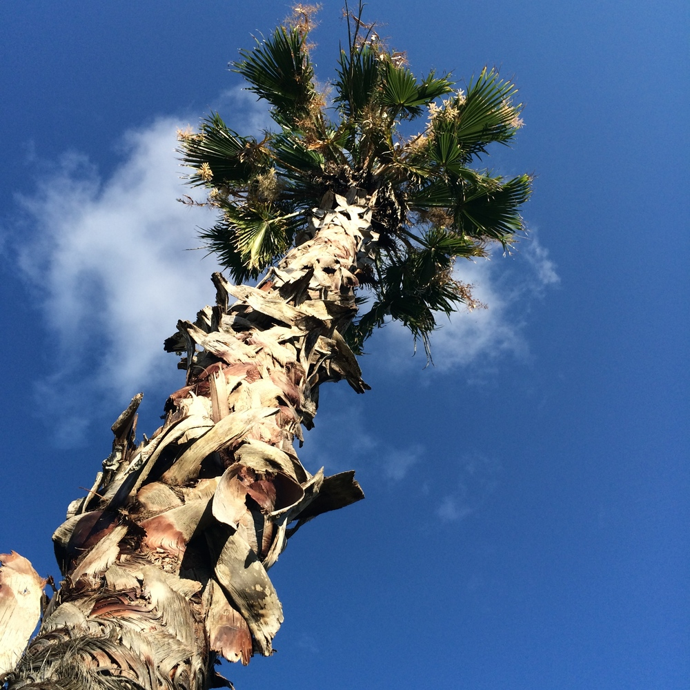 Palm Tree in my yard