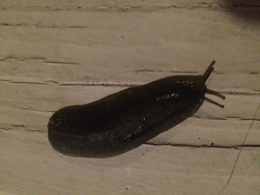 Slugs on the front porch (3in long..)