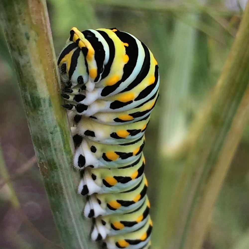 Black Swallowtail caterpillars at thegarden