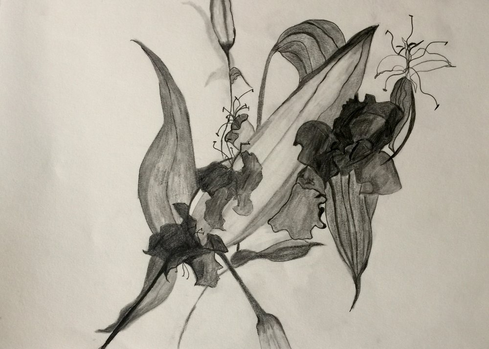 Black Orchid 11.5x16.5 pencil on paper
