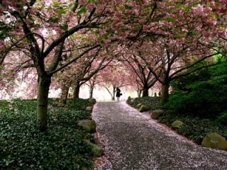 Cherry_Blossom(5).jpg