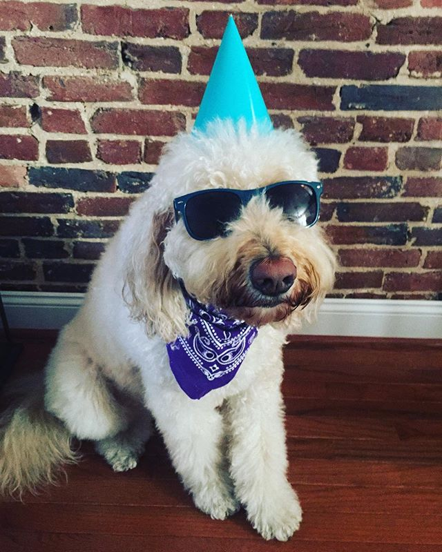 Happy 4th birthday to the most amazing, loving, quirky, well behaved dog I know.  We 💜you!  #thelifeofcali #doodle #labradoodle #shehatesthehat #thelifeofcalidoodle