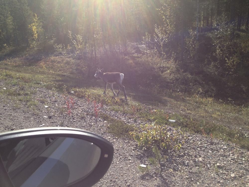 a little reindeer calf