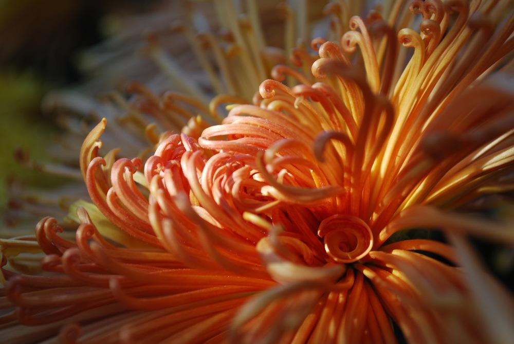 Chrysanthemum Festival - Longwood Gardens