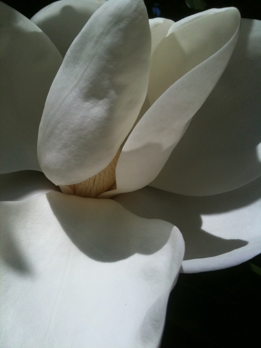June bloom - Sweet magnolia on campus