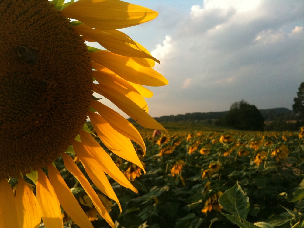 Longwood Sunflowers - Mobile Photos