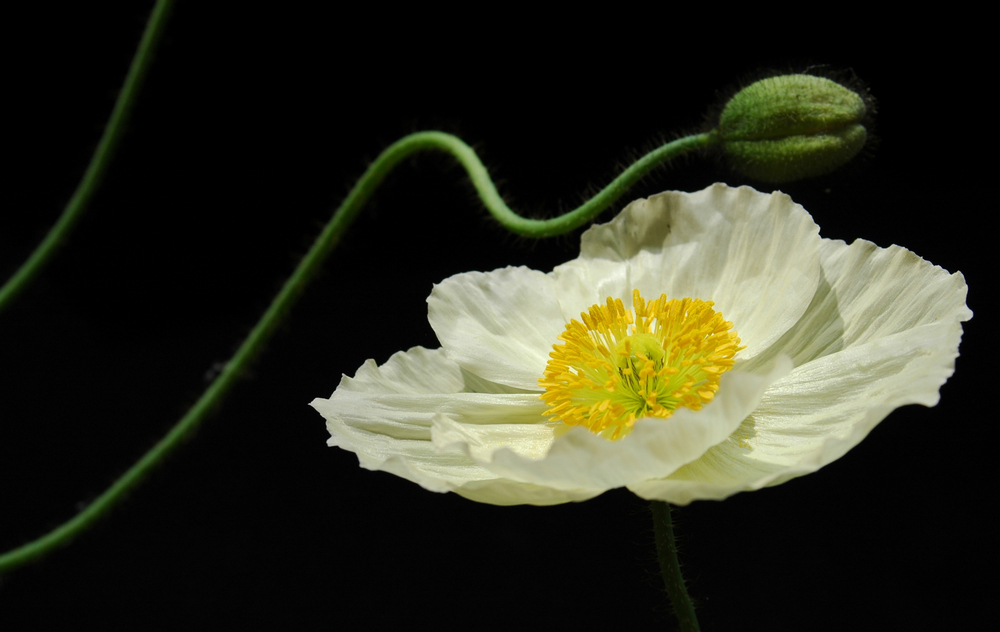 In Bloom: Icelandic Poppy