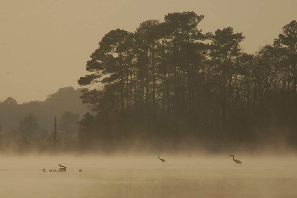 On Delmarva: Herons in the fog