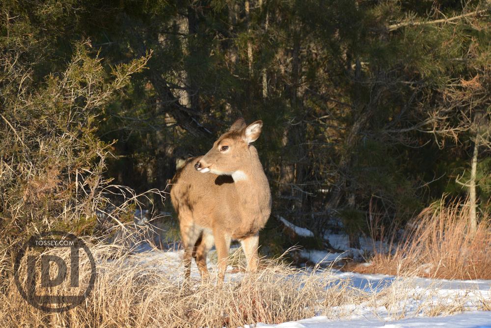 2015-02-20_CHSP-deer.jpg