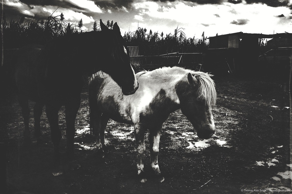 Horses on Ikei Island, Okinawa, Japan. iPhone 6s Plus. Processed in Mextures app.