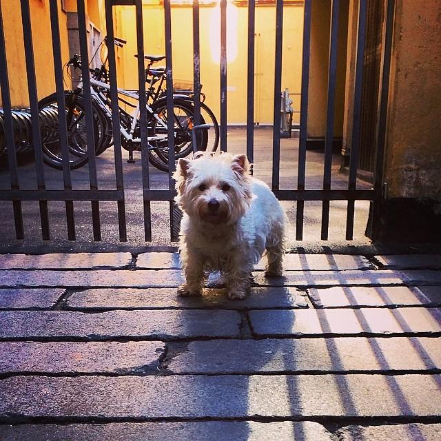 #marcy the #westie in the #gaard #copenhagen #courtyards
