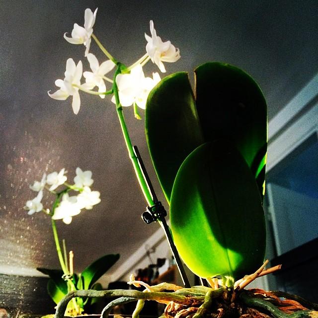 #white #dwarforchid in the evening #sunlight - obligatory for interiors in #copenhagen