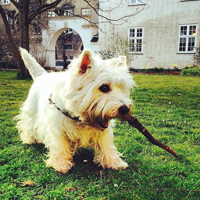 Marcy the #westie enjoying a stick in #kongeligebibliotekshave #copenhagen