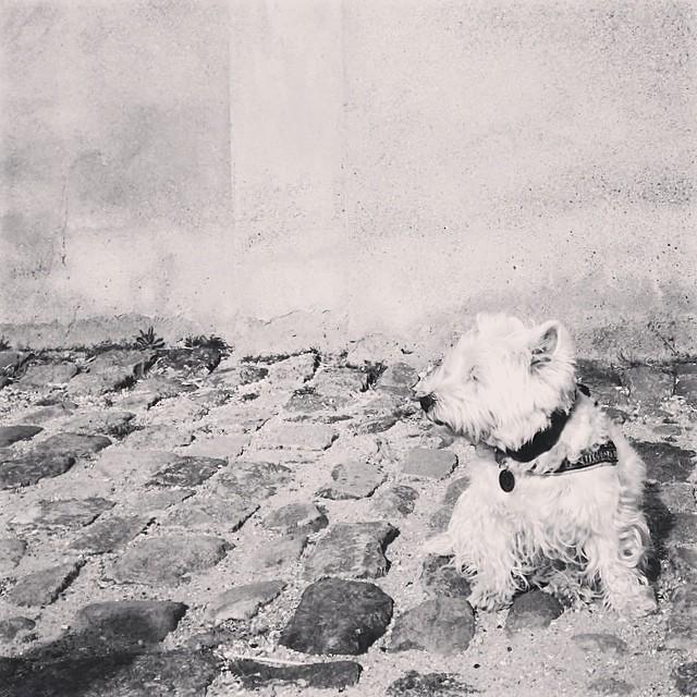 #marcy the #westie facing into the #breeze at #christiansborg #copenhagen - #blackandwhite #instadogs