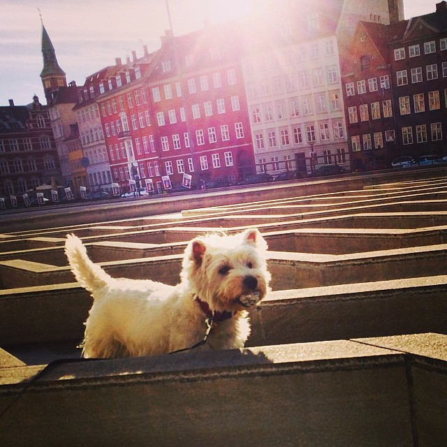 #marcy the #westie discovers something interesting whilst exploring the #fountain #maze at #torvaldsensmuseum #christiansborg #copenhagen