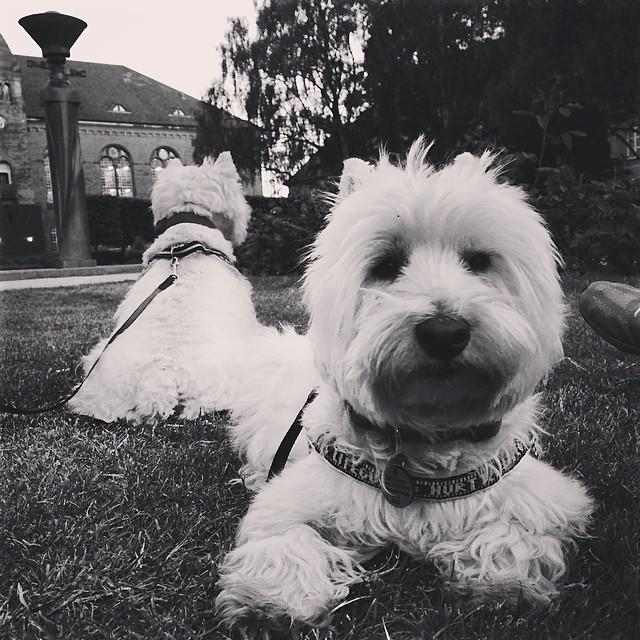 #moomin and #marcy the #westies enjoying the last of the day in #kongeligebibliotekshave #copenhagen