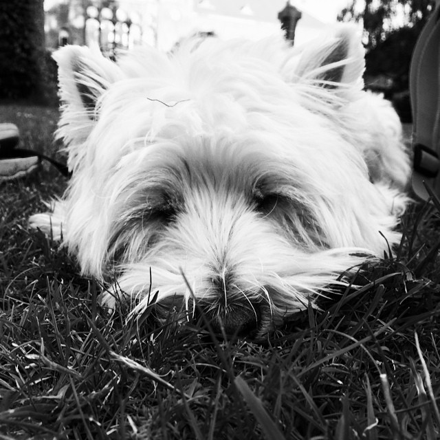 #moomin the #westie #snoozing into th