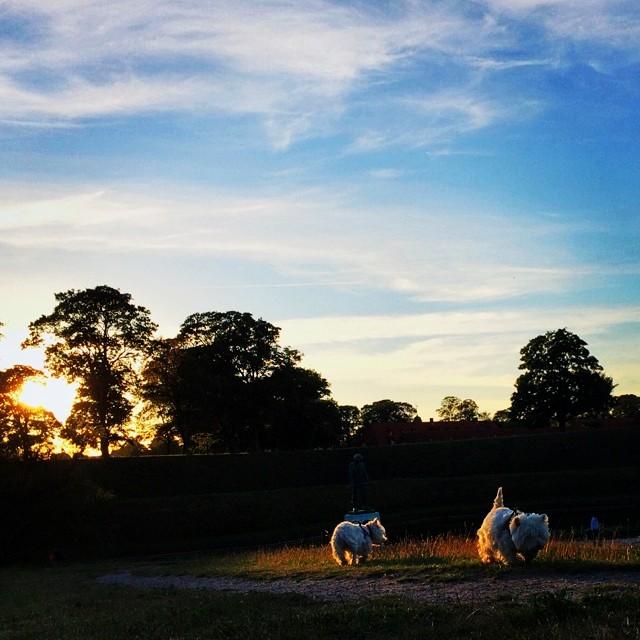 #vscocam #moomin and #Marcy find the last spot of #sunlight - #westie #sunset #kastellet #copenhagen