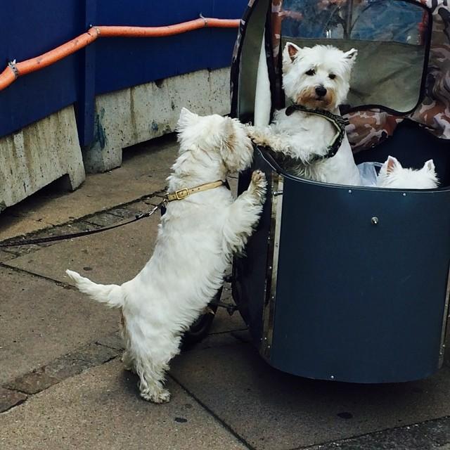#marcy attracts a #westie admirer from her #nihola - #copenhagen #instadogs #bikedogs