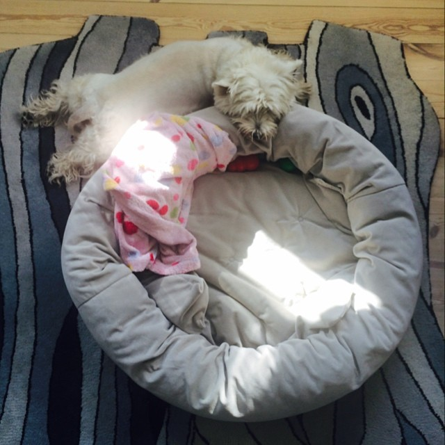 Marcy the #westie seems to be having trouble understanding how to use her #bed today - must be the #copenhagen #sunshine