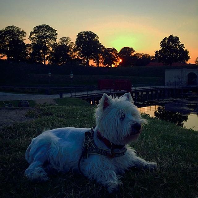 #moomin the #westie at the #kastellet enjoying the last of the days #sun - #copenhagen #sunset #summer
