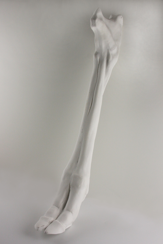 Chevrotain leg study.jpg