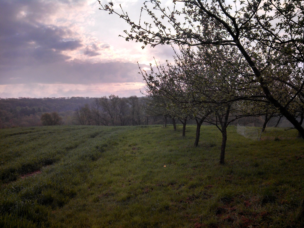 Orchard at dawn.jpg