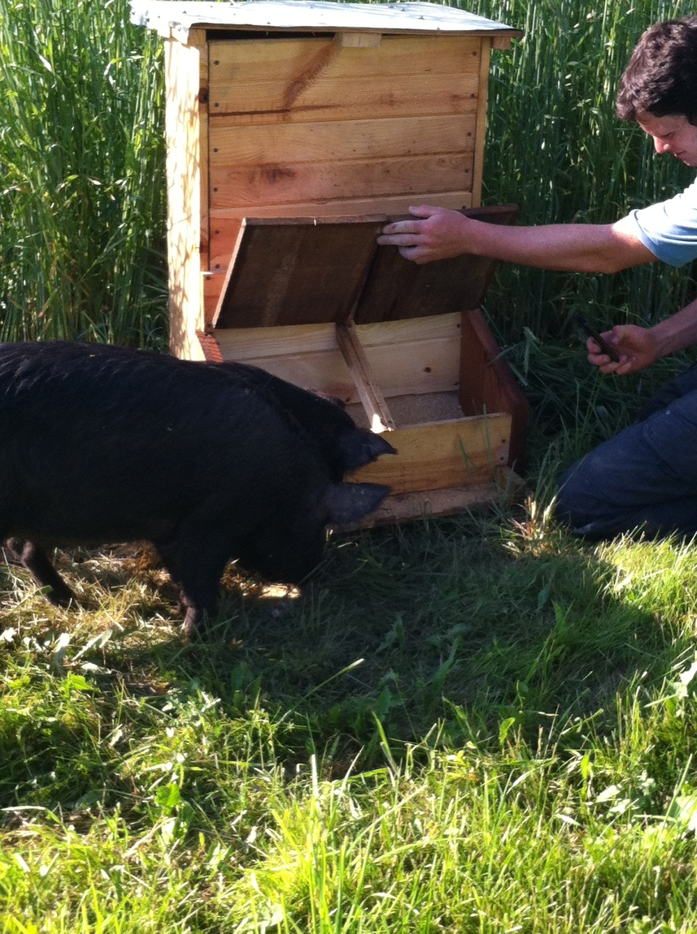 Eric teaching the pigs how to use the feeder. They're pretty smart animals and figured it out after about one day. Now they can't get enough of it