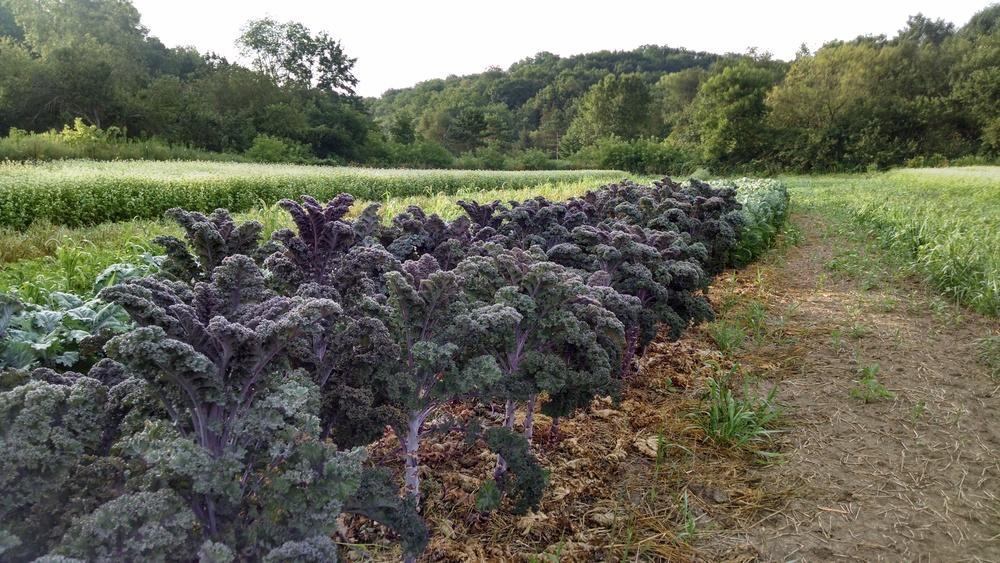 Proud purple kale plants