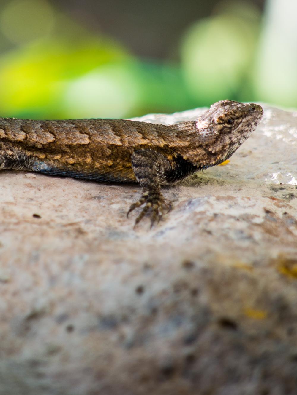 Lizard - Olympus OM-D E-M5, 200mm, f/5.6, ISO 320, 1/250sec