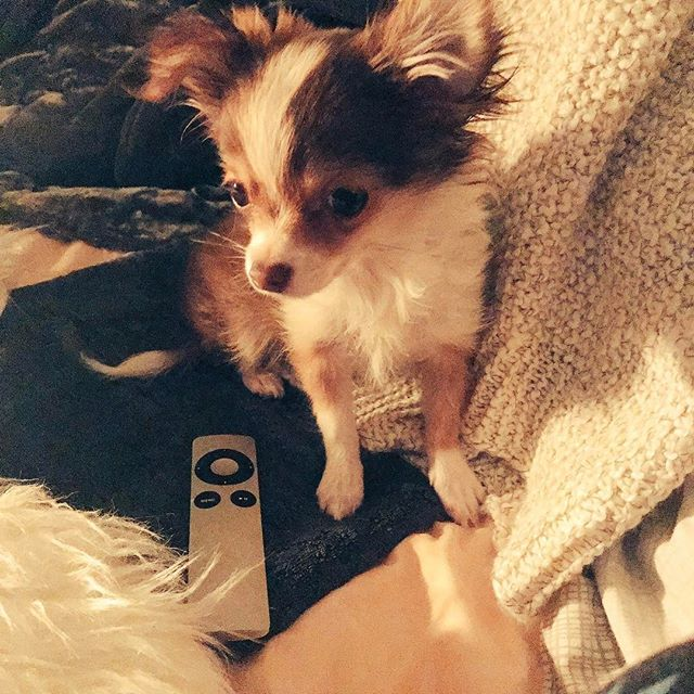 Milo vs. Apple Remote #puppy #chihuahua #chihuahuapuppy #cute #cutepuppies #longhairedchihuahua #sablefur #appleremote #comfy #cozy #love #dogs #inlove #joy #happiness #esa #servicedog in the making #😍
