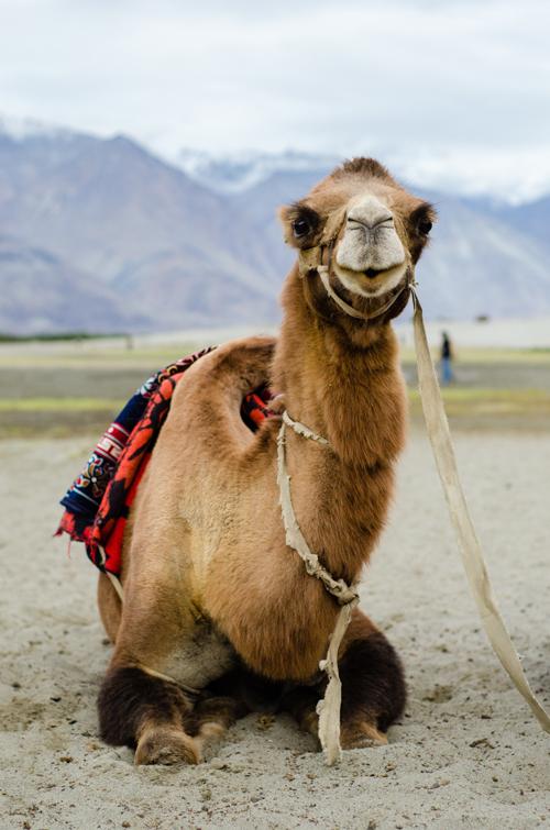 Mikayla's pretty lady camel