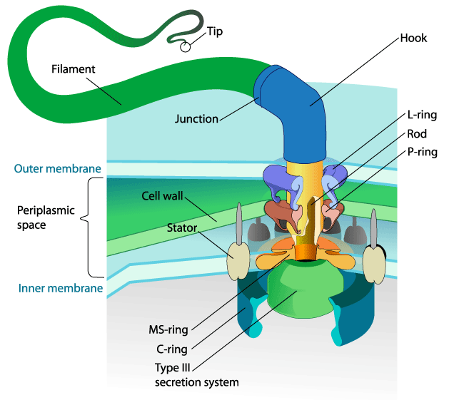 Prokaryotic flagellum, one of the only biological solutions that is almost identical to the mechanical solution, in this case to the problem of rotary motion. Sourcewikipedia