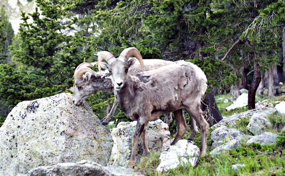Hey'all, I just got this up and running so it might be a minute before I'm blogging. For now you have these bighorn sheep to hang with