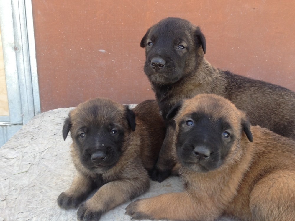 malinois_puppy_cyprus_dog_ranch_5.JPG