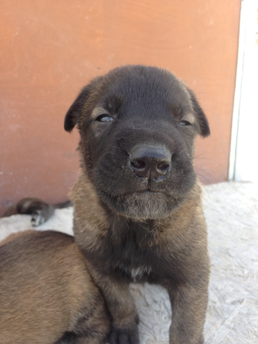 malinois_puppy_cyprus_dog_ranch_11.JPG