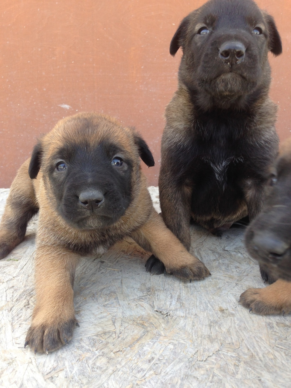 malinois_puppy_cyprus_dog_ranch_14.JPG
