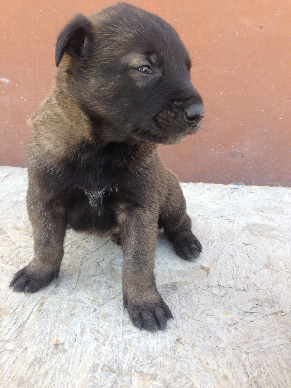 malinois_puppy_cyprus_dog_ranch_16.JPG
