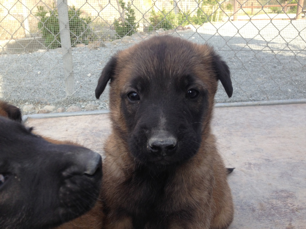 malinois_puppy_cyprus_dog_ranch_23.JPG