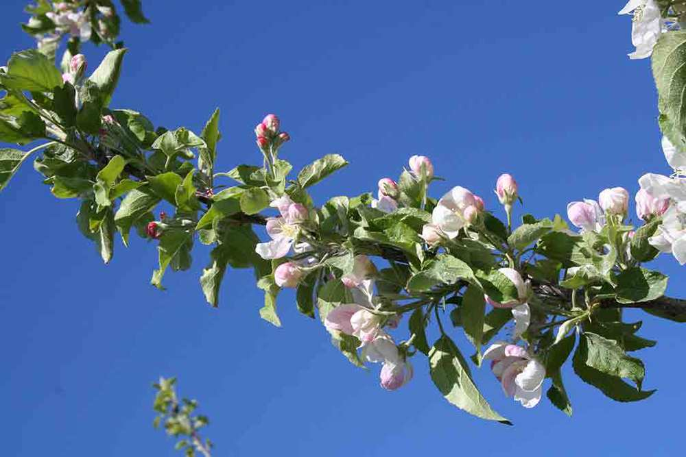 apple_blossom_4.jpg
