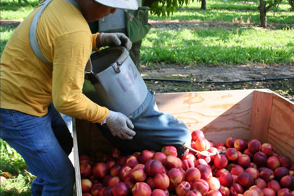 The nectarines are carefully placed in the large bins, once full they are trucked to the warehouse.