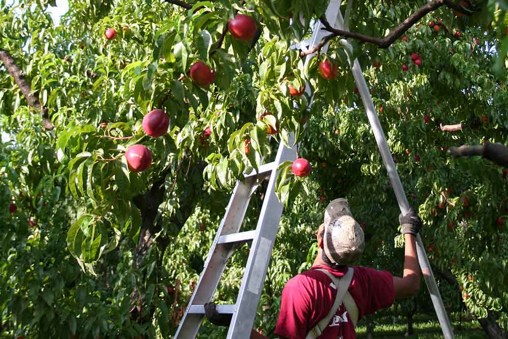 Picking Nectarines
