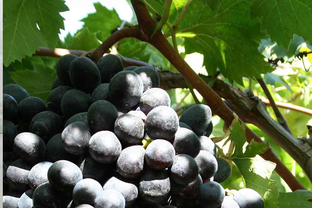 black_grapes_2.jpg