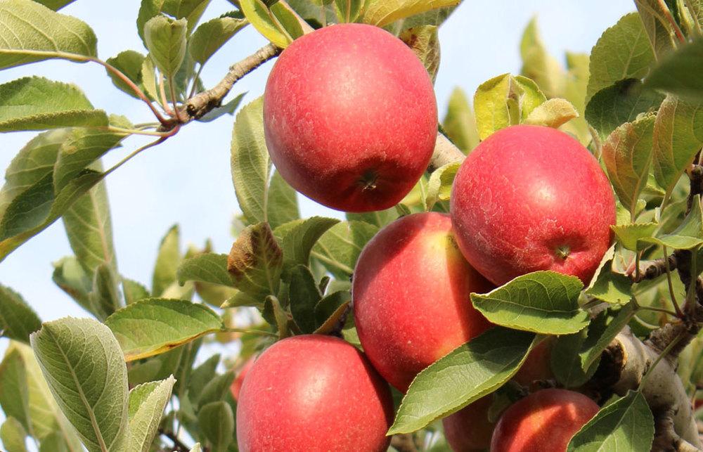 Organic Braeburn