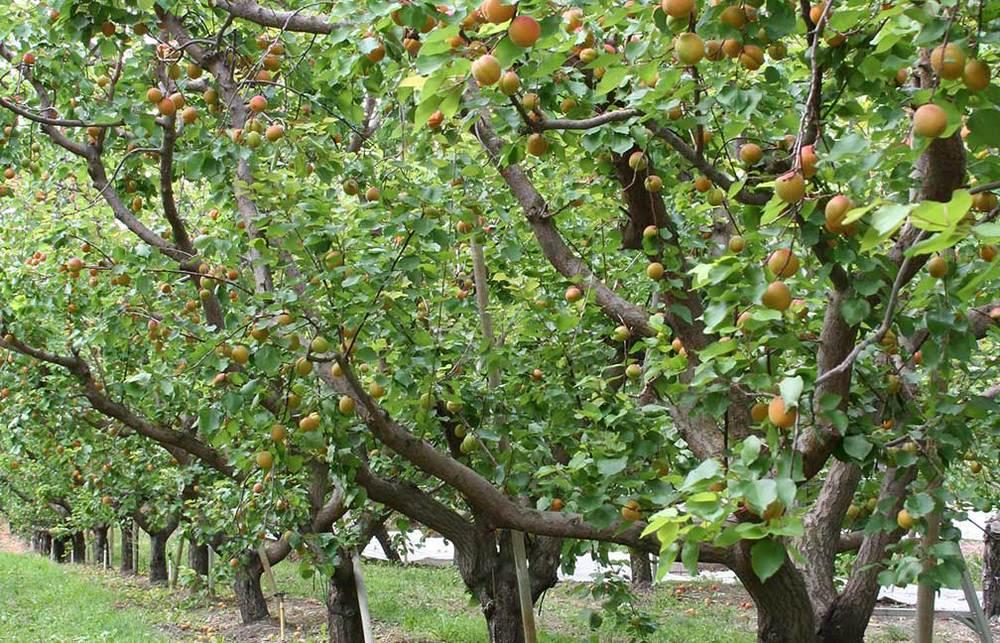 Organic Apricot Orchard