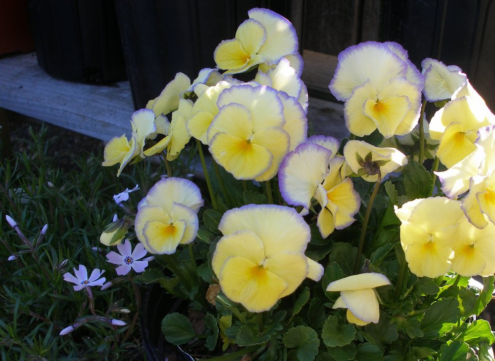 Violas loving the cool weather. This one is 'Etain'