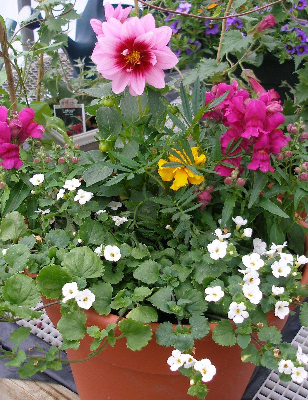 Mixed Containers with white Bacopa, dwarf snapdragons and Dahlia Dalaya 'Yogi'