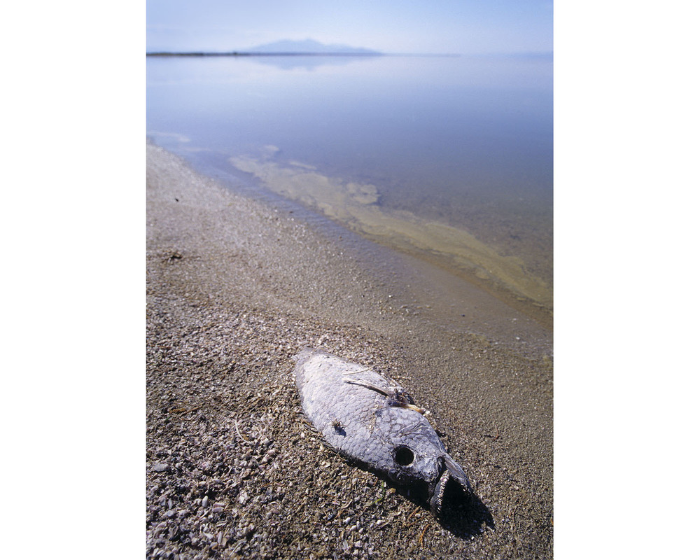dead corvina